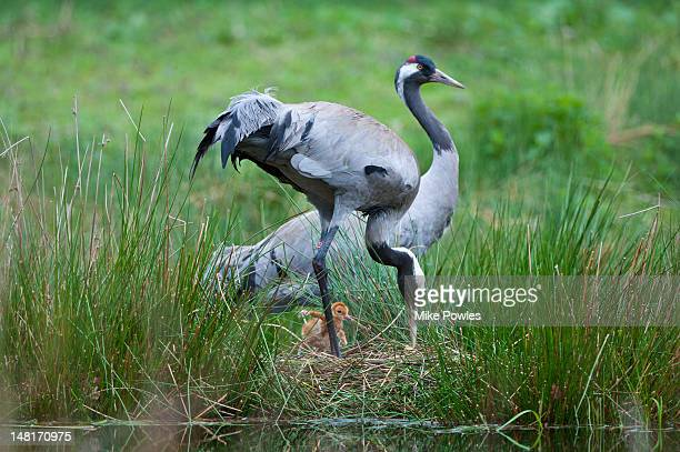 eurasion crane grus grus breeding pair with chick - animals in the wild stock pictures, royalty-free photos & images