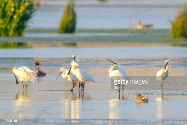 "eurasion spoonbill (platalea leucorodia) wading birds during a beautiful springtime evening - ""sjoerd van der wal"" or ""sjo"" stock pictures, royalty-free photos & images"