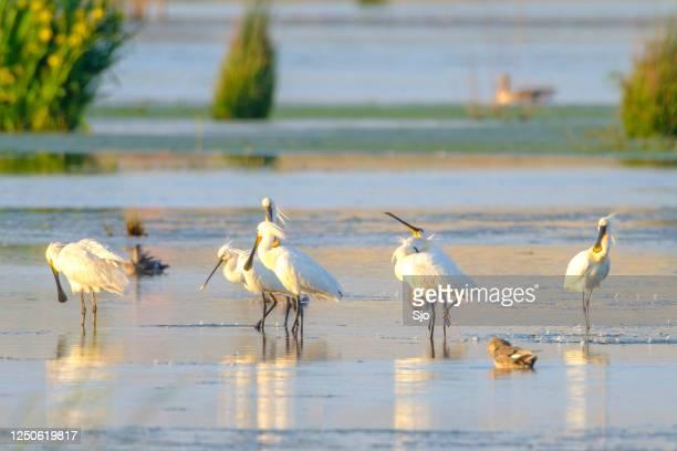 """eurasion spoonbill (platalea leucorodia) waadvogels tijdens een mooie lenteavond - """"sjoerd van der wal"""" or """"sjo""""nature stockfoto's en -beelden"""