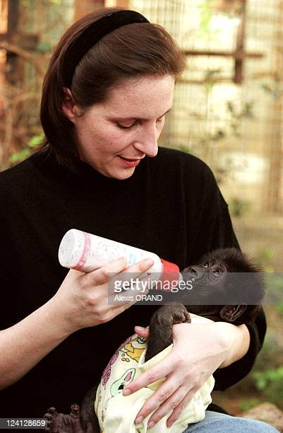 Euro Baby Gorilla at the zoo of Saint Martin La Plaine France on January 05 1999