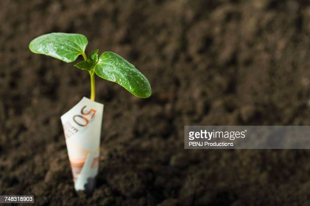 Euro wrapped around seedling in dirt