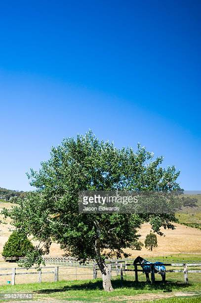 A horse stands in the shade beneath a Poplar tree on a farm.