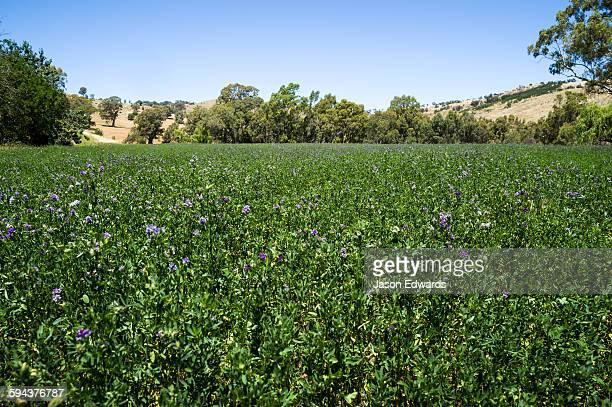 A field of flowering lucerne hay in a farm paddock.