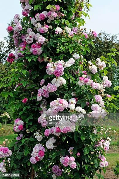 EuropaRosarium formerly the Rosarium Sangerhausen is a municipal rose garden historic rambler rose 'Queen of the Prairies'