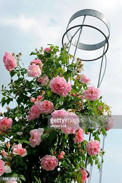 EuropaRosarium formerly the Rosarium Sangerhausen is a municipal rose garden rambler rose at a metall trellis