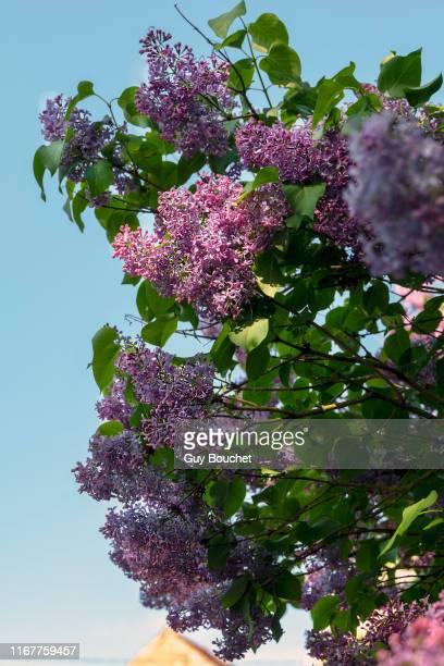 europe, france, bourgogne, cote d'or, bard les  epoisses, lilac blossoms - ライラック ストックフォトと画像