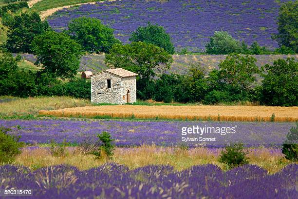 Europe, France, Vaucluse, Sault, House in a lavender field
