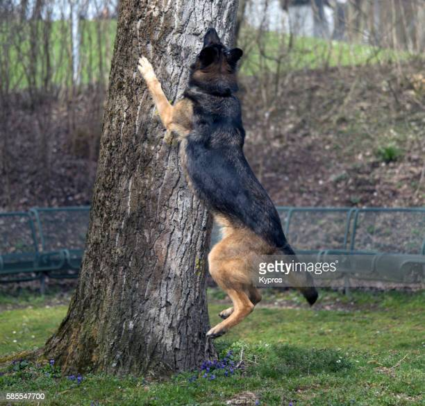 Europe, Germany, Bavaria, Munich, View Of Airborne Alsatian Dog Chasing Squirrel Up Tree