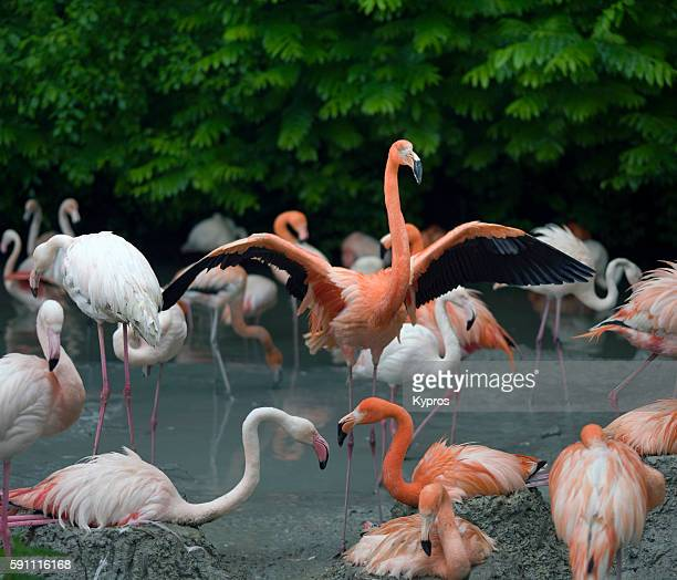 Europe, Germany, Bavaria, Red Flamingo's In Pond