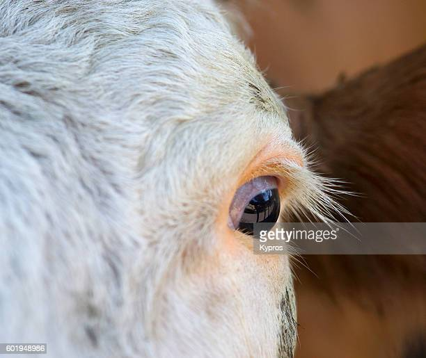 europe, germany, bavaria, view of dairy cow - cow eyes stock pictures, royalty-free photos & images
