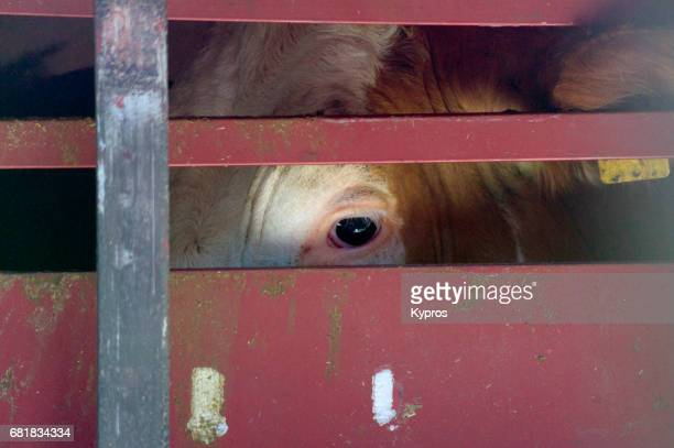 europe, germany, bavaria, view of former dairy cow in transporter on way to slaughterhouse - vervoer stockfoto's en -beelden