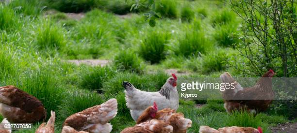 europe, germany, bavaria, view of free range chickens in meadow - de corral fotografías e imágenes de stock