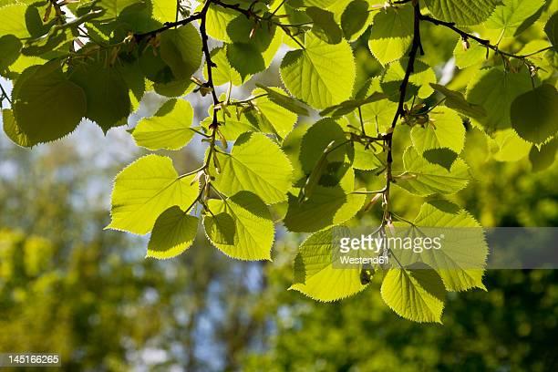 Europe, Germany, North Rhine Westphalia, View of lime leaf twig