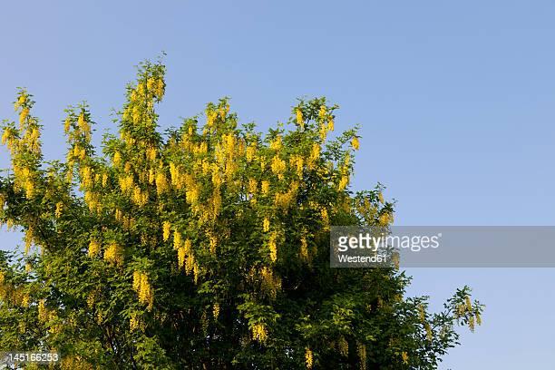 Europe, Germany, Rhineland Palatinate, View of inflorescence plant