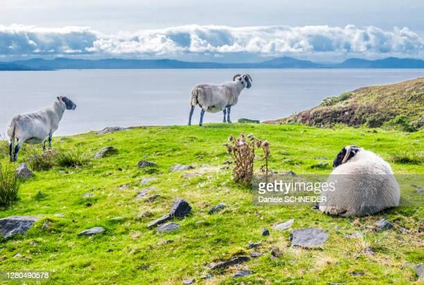 europe, great britain, scotland, hebrides, south-east of the isle of skye, point of sleat, grazing scottish blackface sheeps facing the ocean - hebriden inselgruppe stock-fotos und bilder