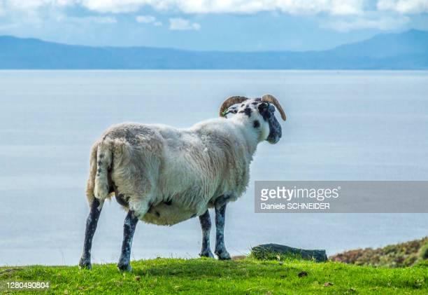 europe, great britain, scotland, hebrides, south-east of the isle of skye, point of sleat, grazing scottish blackface sheep facing the ocean - hebriden inselgruppe stock-fotos und bilder