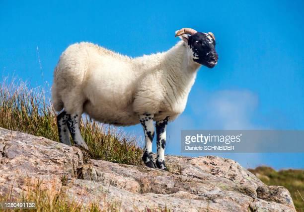 europe, great britain, scotland, hebrides, south-east of the isle of skye, point of sleat, scottish blackface sheep on rocks - hebriden inselgruppe stock-fotos und bilder