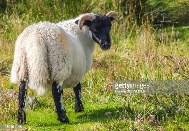europe, great britain, scotland, hebrides, south-east of the isle of skye, point of sleat, grazing scottish blackface sheep - hebriden inselgruppe stock-fotos und bilder