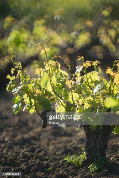 europe, greece, 2018: view of grape vines growing in countryside - dolmades stock pictures, royalty-free photos & images
