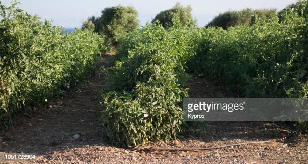 europe, greece, 2018: view of rows of tomato plants growing in field  (discarded tomatoes on ground) - plant de tomate photos et images de collection