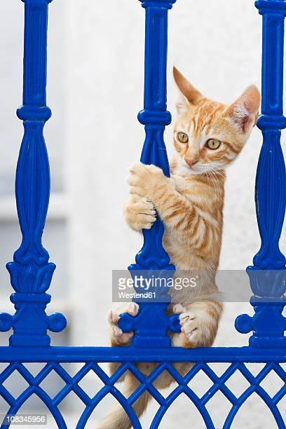 Europe, Greece, Cyclades, Thira, Santorini, Oia, Kitten climbing on fence