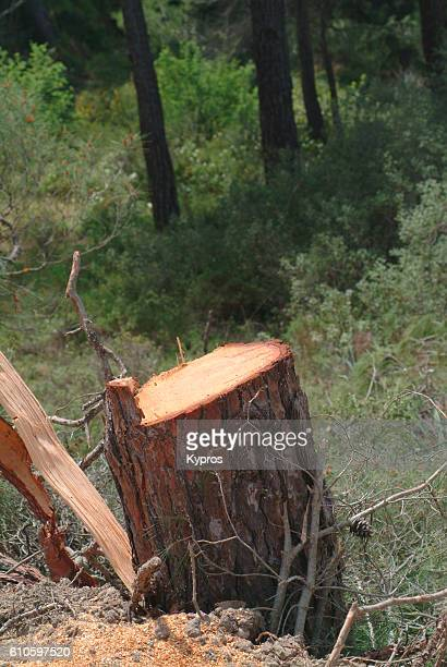 Europe, Greece, View Of Cut Pine Tree (Illegal To Cut Trees In Greece)