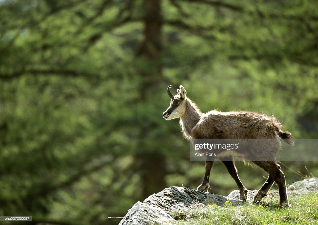 Europe, Italy, chamois standing on a rock, side view, pine tree in background : Stockfoto