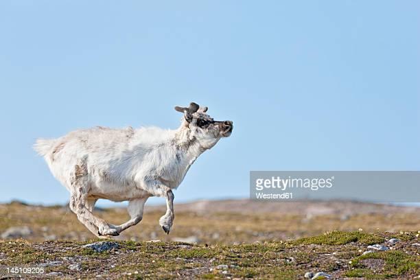 europe, norway, spitsbergen, svalbard, reindeer running on grass - スヴァールバル諸島 ストックフォトと画像