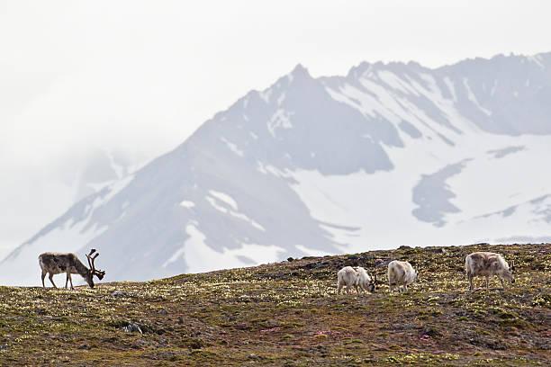 Europe, Norway, Spitsbergen, Svalbard, Reindeers grazing on grass