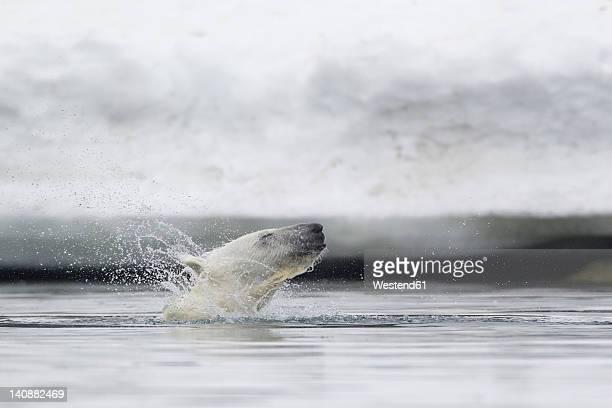 Europe, Norway, Svalbard, Polar bear shaking fur in water
