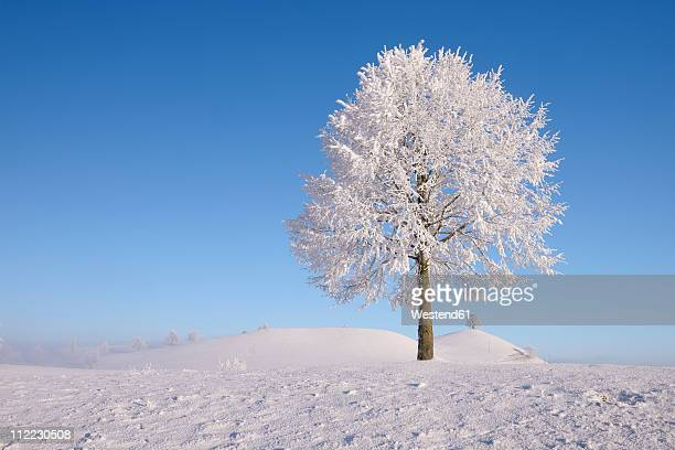 Europe, Switzerland, Canton of Zug, View of lime tree on snowy landscape
