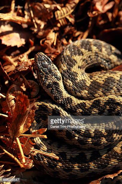 European adder sunning in leaf litter