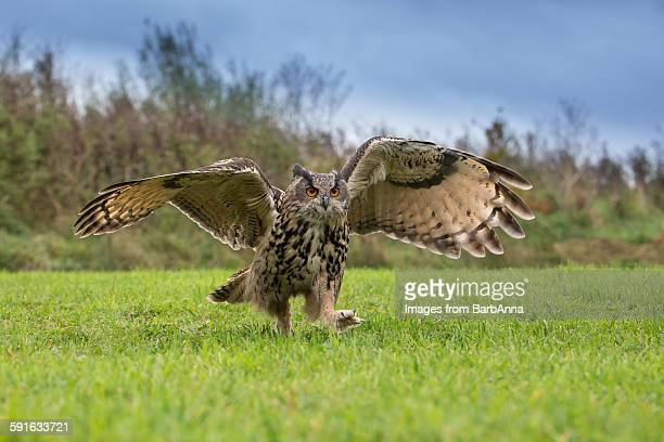 European agle owl running
