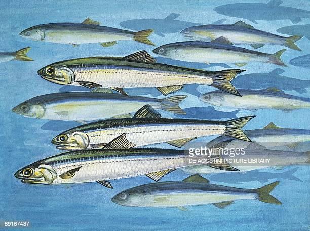 European anchovy illustration