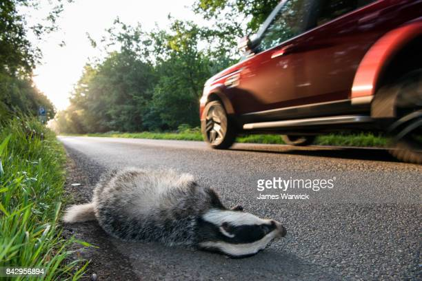 european badger cub roadkill by verge of forest road - roadkill stock photos and pictures