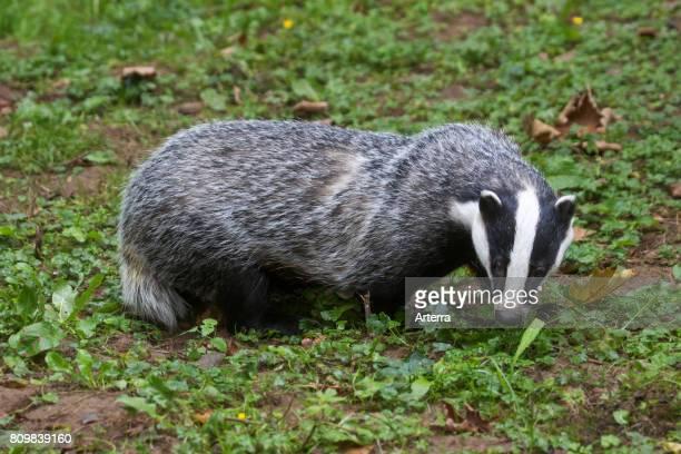 European badger foraging in grassland