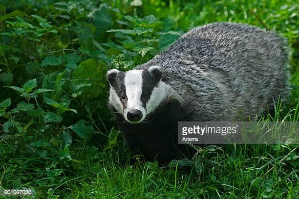 European badger foraging in meadow