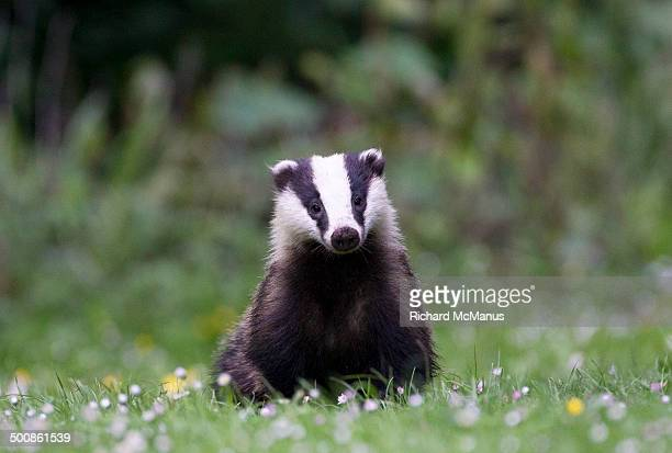 European Badger in daisies.