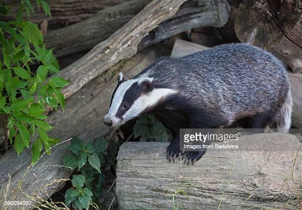 European badger (Meles miles)