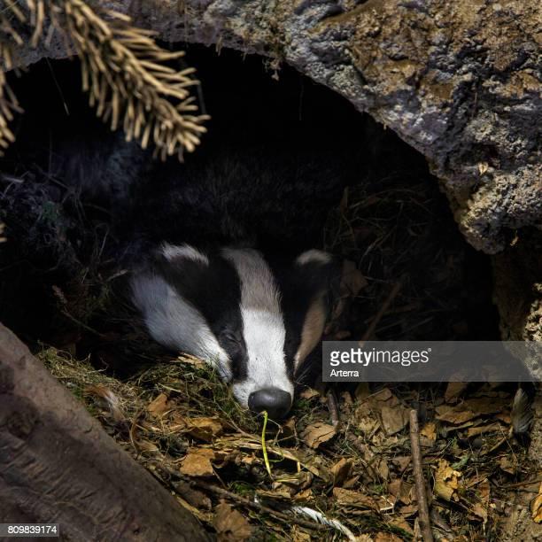 European badger sleeping in den / sett in coniferous forest