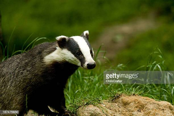 European Badger standing on mound hunting for food