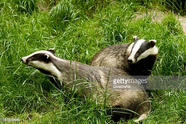 European Badgers playing in the grass