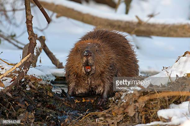european beaver -castor fiber-, foraging, winter, snow, diurnal, middle elbe, saxony-anhalt, germany - beaver stock pictures, royalty-free photos & images