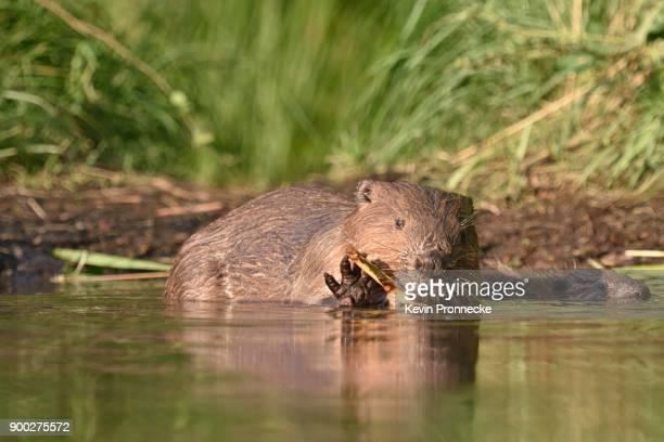 European beaver (Castor fiber) feeding in the water, near Grimma, Saxony, Germany