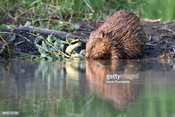 european beaver (castor fiber) feeding the water, near grimma, saxony, germany - castor stock photos and pictures