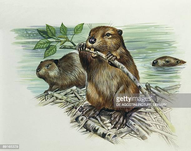 European beavers on dam illustration