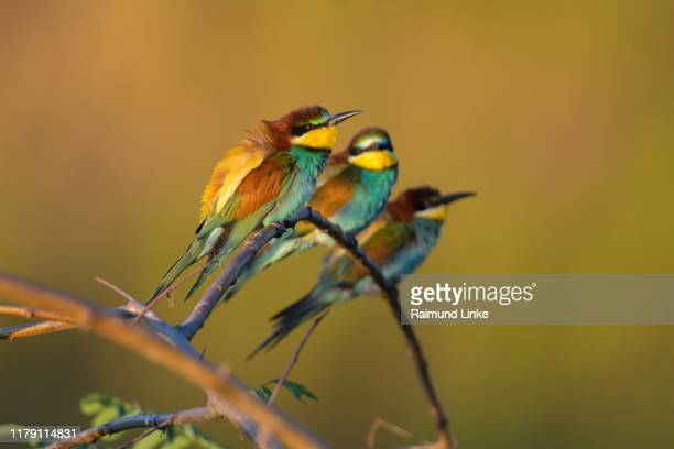 european bee eater, merops apiaster, four birds - small group of animals stock pictures, royalty-free photos & images