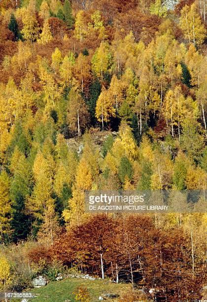 European beech and European larch wood Valsesia Piedmont region Italy