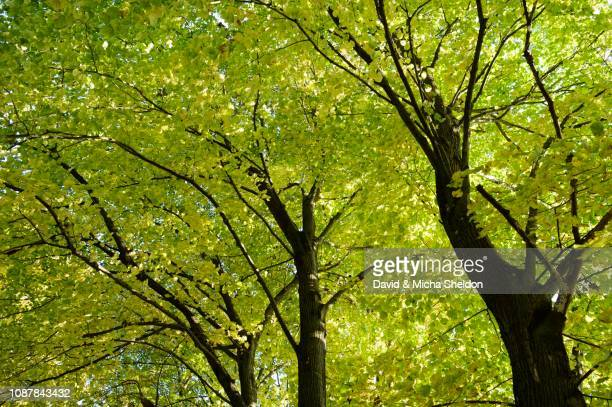 european beech (fagus sylvatica), forest in autumn, germany - photosynthesis stock photos and pictures