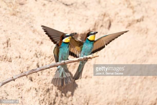 European Bee-eater (Merops apiaster). Bird on a branch with an insect in its mouth that it has hunted.